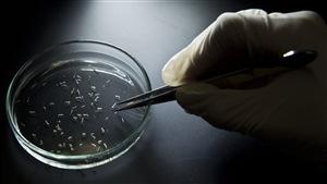Des moustiques sont analysés après l'épidémie du virus Zika.