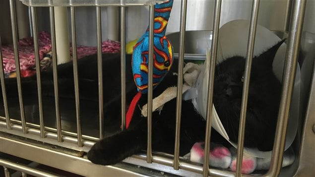 La SPA de l'Île-du-Prince-Édouard a besoin de bénévoles pour accueillir des animaux, plus particulièrement des chats.