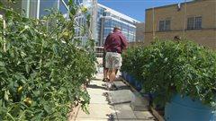 Jardin urbain sur le toit de l'Université de la Saskatchewan