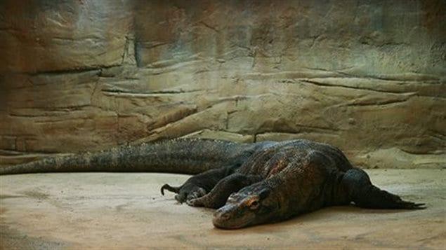 Loka, le dragon de Komodo de Calgary, est morte à l'âge de 30 ans alors qu'elle était le plus vieil animal de son espèce en captivité.