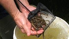 300 anguilles de rivière dans le lac à l'Anguille