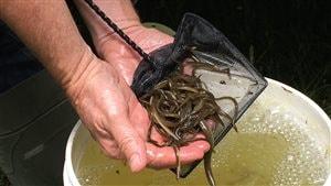 Les petites anguilles sont ensemencées dans le lac du même nom