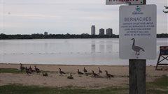 Ottawa et Gatineau multiplient les mesures pour chasser les bernaches