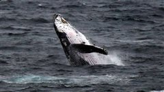 Un pêcheur de 79ans sort indemne d'une collision avec une baleine à bosse