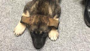 Le chiot Asha a été transporté dans un hôpital vétérinaire de Winnipeg.