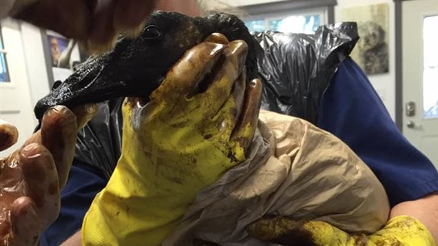 Un oiseau contaminé par un déversement pétrolier.