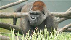 N'sabi, un des gorilles du Zoo de Granby, est mort