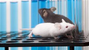 Des rongeurs utilisés dans des laboratoires de recherches.