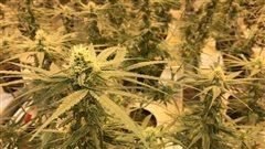 Quand la légalisation de la marijuana suscite beaucoup de questions