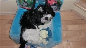 Lors d'une marche dans le quartier de Linden Woods à Winnipeg, un labrador retriever a tué le petit Snoopy.