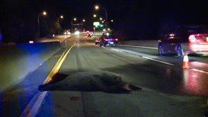 Un ours a dû être abattu après une collision survenue tard mardi sur la voie de contournement Mary Hill en Colombie-Britannique.