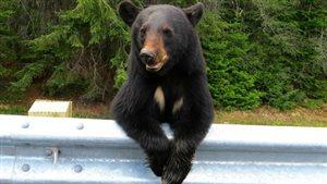 Un ours noir au bord de l'autoroute.