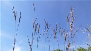Les hautes herbes des Prairies font partie de la végétation traditionnelle du sud du Manitoba. Elles aident la terre résister aux éboulements causés par les fréquentes inondations.