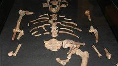 L'australopithèque Lucy pourrait être morte en tombant d'un arbre