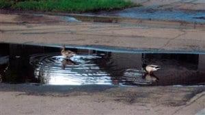 Des canards s'installent devant la maison de Doug Kozack chaque année, dit-il.
