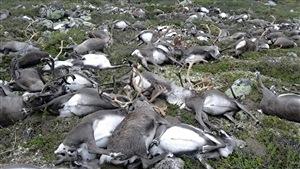 Plus de 300 rennes ont été tués par la foudre en Norvège