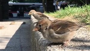 Les oiseaux citadins ne s'entendent plus chanter