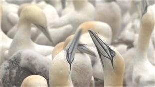 Fous de bassan. L'oiseau peut s'absenter du nid pendant plusieurs jours pour s'alimenter