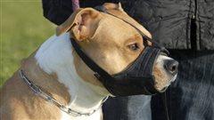 La SPCA s'adresse aux tribunaux pour sauver les pitbulls à Montréal