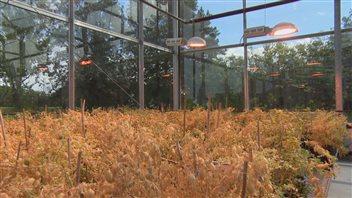 Les chercheurs de l'Université de la Saskatchewan font pousser des légumineuses dans une serre de l'établissement