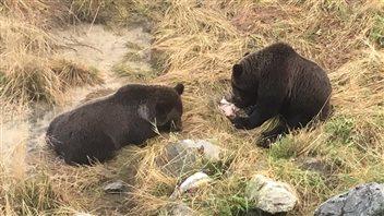 L'île de Vancouver, future terre d'accueil pour les grizzlys?