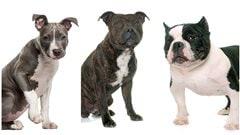 Le règlement sur les pitbulls est adopté à Montréal