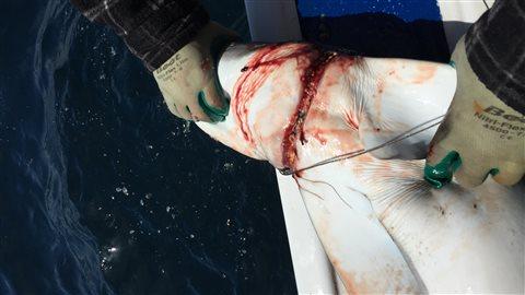 Un requin bleu pris dans une ligne de pêche commerciale de thon ou d'espadon au large d'Halifax.