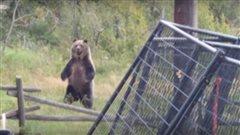 Quand des grizzlys s'invitent dans la cour arrière