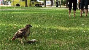 Un rapace qui dévore un écureuil dans un parc, rare ou pas?
