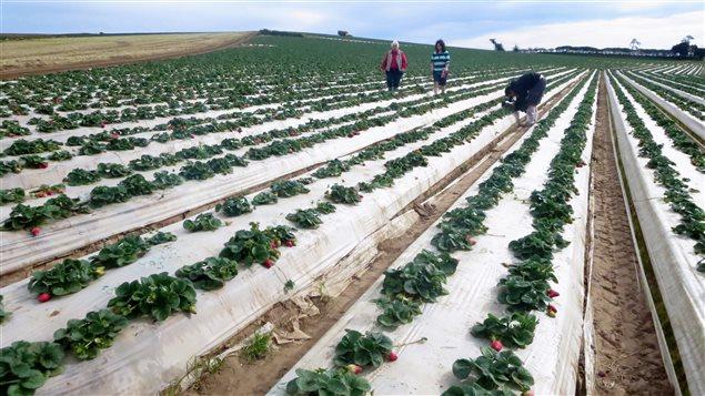 Un champs de fraises en Californie