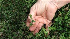 Contre l'herbe à poux, une Montréalaise prend son bâton de pèlerin