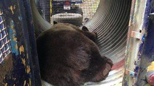 Un des grizzlys capturés dans un piège à ours près d'Alert Bay