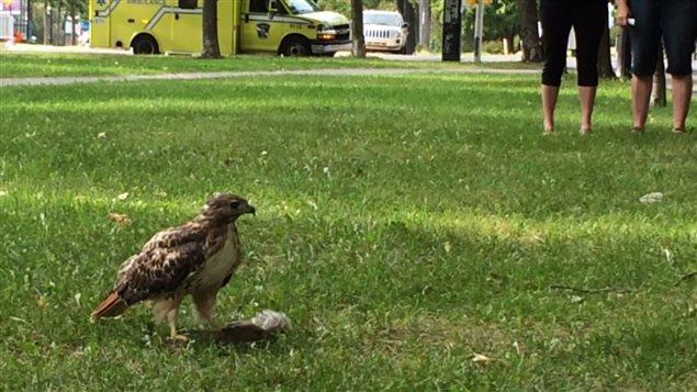 Une buse à queue rousse a pu être observée en train de manger sa proie dans le parc La Fontaine, à Montréal