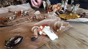 Plusieurs centaines d'espèces de champignons se retrouvent dans les forêts de la Côte-Nord.