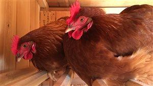 Les nouvelles poules pondeuses du centre Sainte-Anne, à Fredericton.