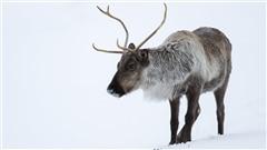 Le caribou en déclin après la surpopulation
