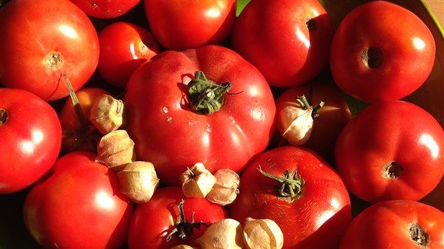 une r colte de tomates si exceptionnelle que des fruits pourriront sur leurs plants ici radio. Black Bedroom Furniture Sets. Home Design Ideas