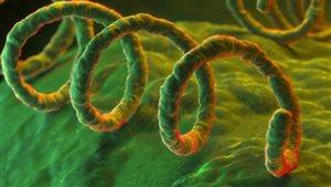La bactérie qui cause la syphilis