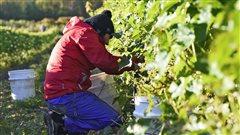 Les changements climatiques favorables à la production du vin au Québec
