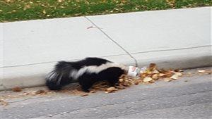 Un couple de Calgary a secouru une mouffette prise dans un pot de beurre d'arachide.