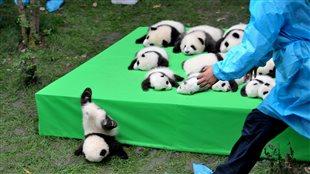 Quelque 23 bébés pandas ont été présentés pour la première fois au média.