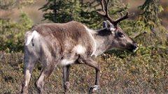 L'Alberta va de l'avant avec son plan de protection des caribous