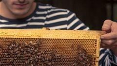 D'abeilles des champs à abeilles des villes