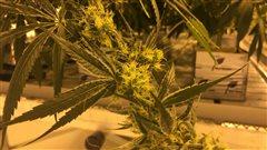 Référendum sur la légalisation de la marijuana à des fins récréatives au Maine