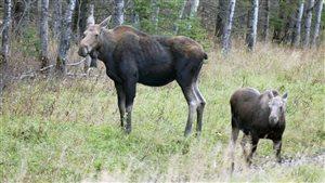 Un orignal femelle et son veau dans le parc national du Mont-Riding