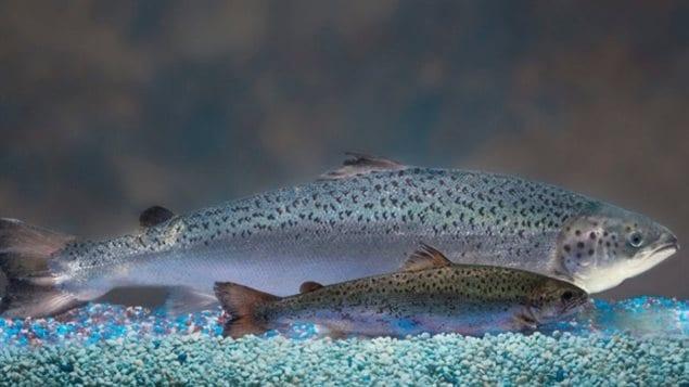 Des poissons modifiés génétiquement par la compagnie AquaBounty Technologies