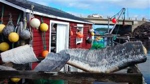 Le fanon du rorqual boréal rapporté par David Boyd à Terre-Neuve. Il s'agit des lames cornées qui garnissent la bouche de ce type de baleine.