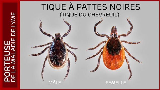 Les tiques à pattes noires sont actives dès que la neige fond et elles peuvent transmettre la maladie de Lyme.