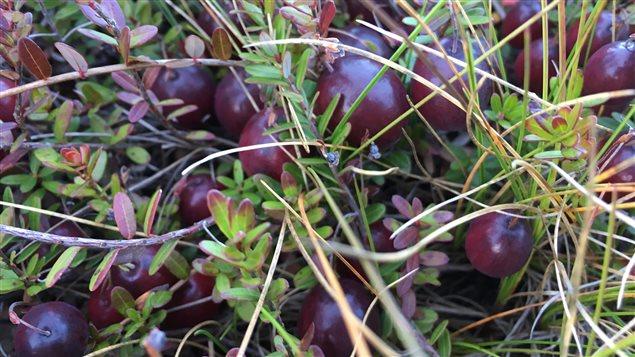 Les canneberges sont bien mûres dans le champ de la ferme Les jardins de la prairie.