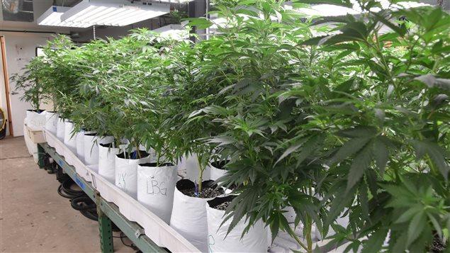 Les revenus provenant de la vente de marijuana à usage récréatif ont dépassé en 2015 ceux issus de la vente d'alcool, au Colorado.
